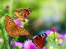 蝴蝶花高清图片3