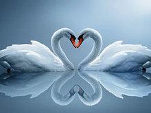 白天鹅高清图片5