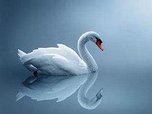 白天鹅高清图片4