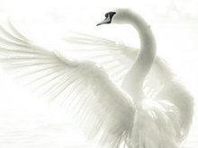 白天鹅高清图片3
