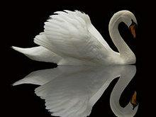 白天鹅高清图片2