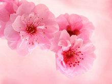 粉色桃花高清图片