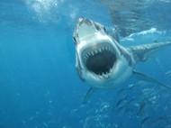 鲨鱼图片素材