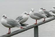 海鸥图片 海鸥图片大全