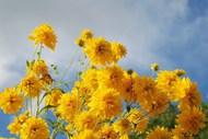 黄色野菊花图片
