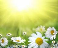 阳光下的菊花图片