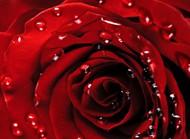 露珠玫瑰花图片