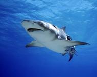 鲨鱼图片 鲨鱼图片大全