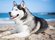 可爱雪橇犬图片