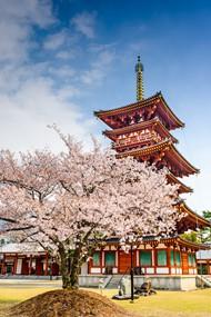 日本樱花树图片