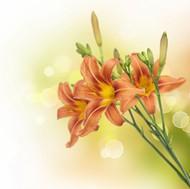 橙色百合花图片