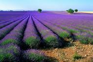 紫色唯美薰衣草图片