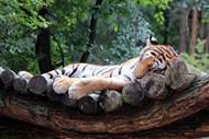 森林老虎图片