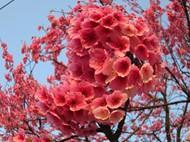 粉色吉野樱图片