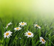 草丛白菊花图片