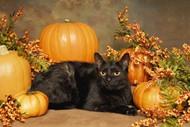 万圣节黑猫图片素材