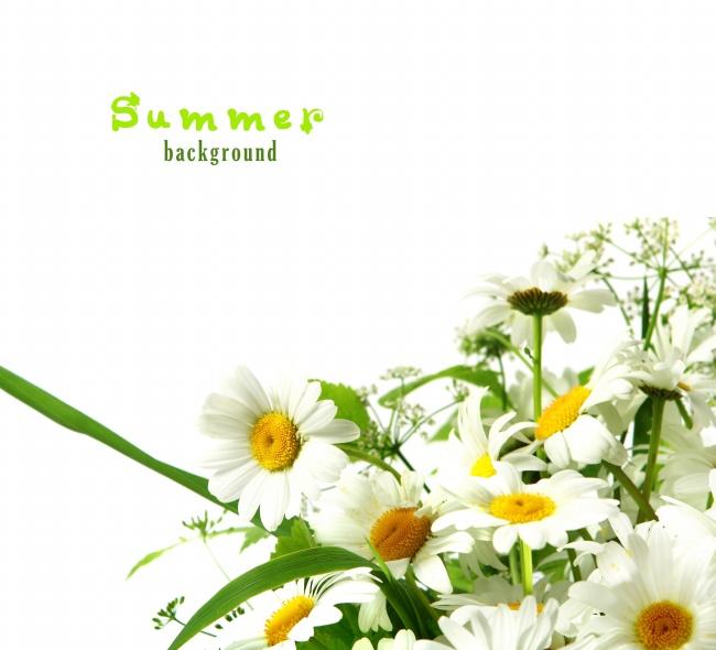 雏菊背景图片