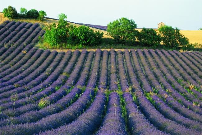 紫色薰衣草花圃图片