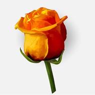 单支黄色玫瑰花矢量图片