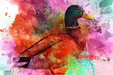绿头鸭绘画图片素材