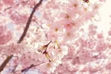 浅粉色樱花高清图片