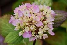 粉色绣球花摄影图片素材