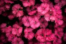 粉红色的雏菊图片大全