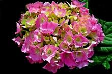 粉红色绣球花图片下载