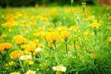 橙色金盏菊花海图片下载