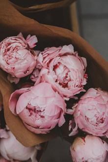 粉红色牡丹花高清高清图片