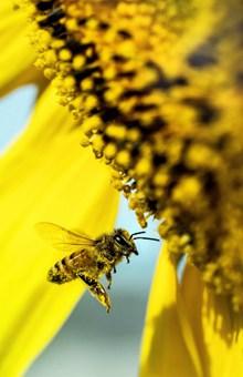 黄色葵花花盘局部特写高清图