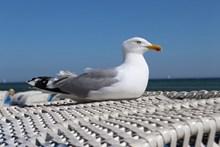 海岸悠闲海鸥图片