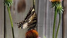 松果菊上燕尾蝴蝶图片大全
