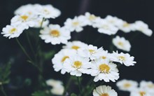 白色的野菊花图片