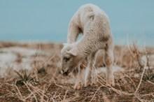 一只绵羊精美图片