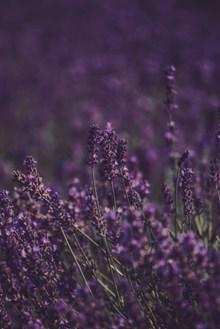 紫色唯美薰衣草花海图片大全