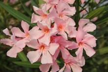 粉红色夹竹桃鲜花图片素材