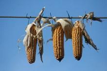 晒干玉米棒高清图片