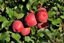 果园红苹果高清图片