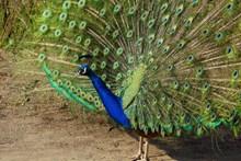 大只孔雀展翅图片