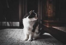 可爱奶牛猫高清图片