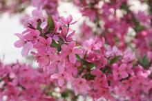 粉红色樱花绽放图片大全