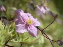 清新的粉红色花朵精美图片