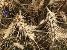 成熟小麦高清图片下载