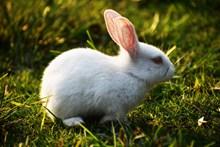 草地上的小白兔高清图片