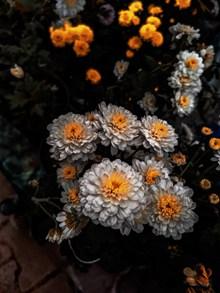 娇艳盛开的菊花图片