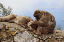 野生猕猴照片图片下载