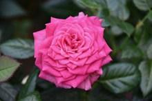 鲜艳欲滴玫瑰花精美图片