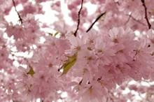 春天粉色樱花花朵 春天粉色樱花花朵大全高清图