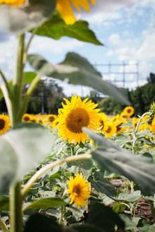阳光下向日葵高清精美图片